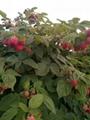 紅樹莓苗 1