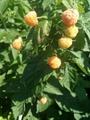 黄树莓苗 1