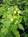 黄树莓苗 2
