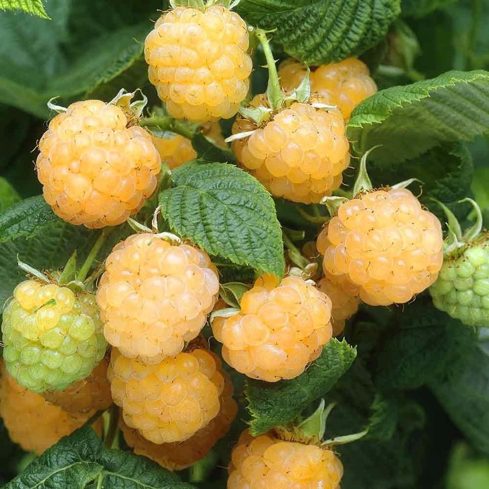 黄树莓苗 3