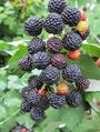 黑樹莓苗 1
