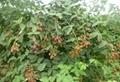 黑樹莓苗 2