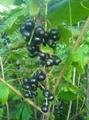 黑加侖苗 1