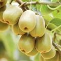 屏山紅心獼猴桃批發零售產地直供 2