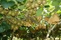 紅心獼猴桃批發零售無污染孕婦水果 2