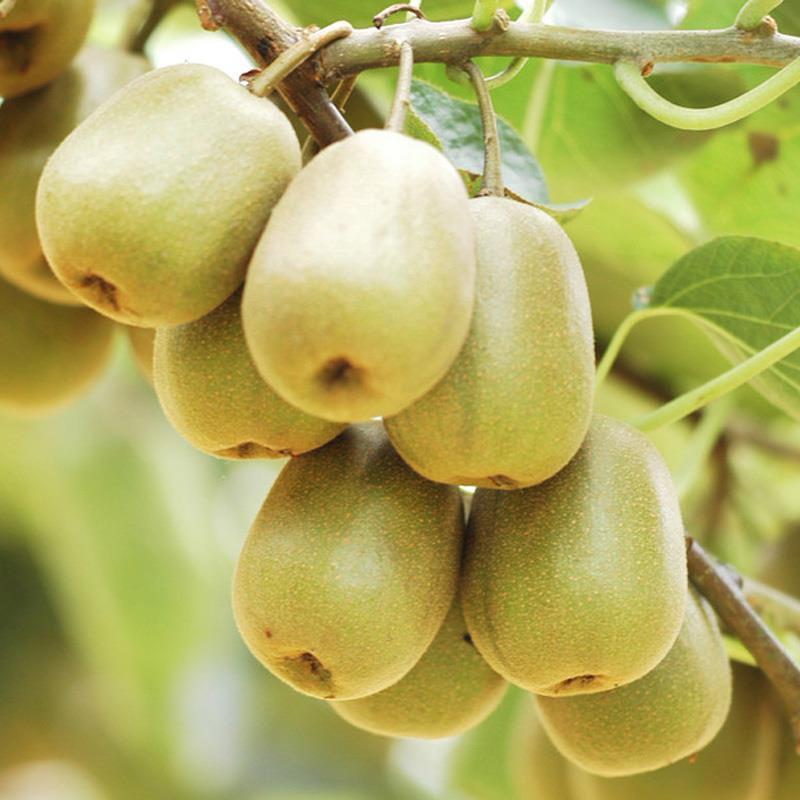 紅心獼猴桃批發零售無污染孕婦水果 3