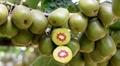 四川紅心獼猴桃產地直供量大從優 3