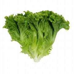 High quality all types of lettuce supply a whole year