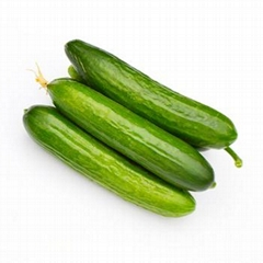 High quality cucumber with custom planting all year round