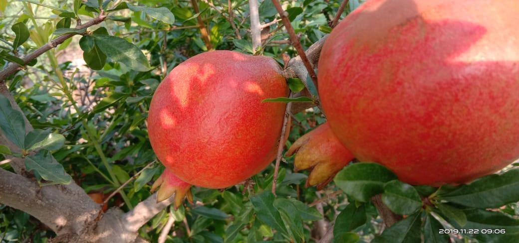 Fresh Pomegranate  1