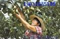 獼猴桃果園搭架用的鋼絲 1