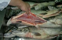 Frozen Chum Salmon from Nowagian supplier