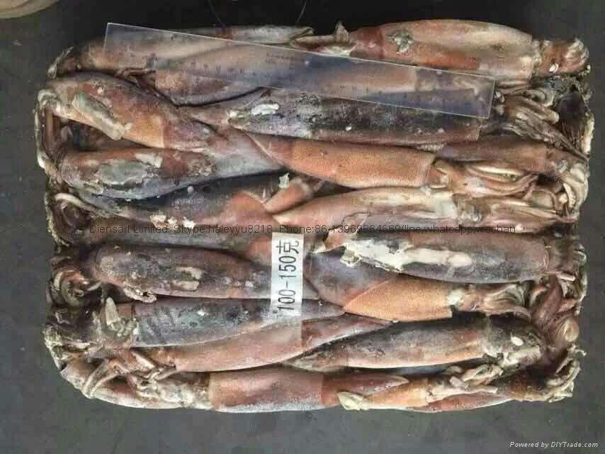 Seafood Importer Frozen Argentina Illex Squid 1