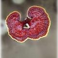 sell reishi mushroom spawn 1