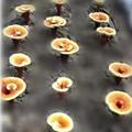 sell reishi mushroom spawn 4