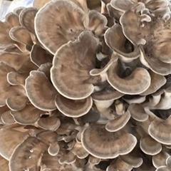 mushroom spawn suppliers maitake mushroom spawn