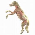 Plastinated Dog Specimen for