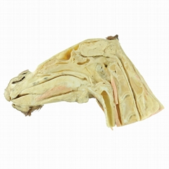 Median Sagittal Section of Horse Head Plastination for Plastination Exhibit