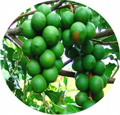 夏威夷果品种桂热1号