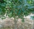 优秀夏威夷果品种桂热1号 2