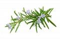 Rosemary extract Rosmarinic acid 5% 3