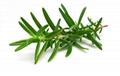 Rosemary extract Rosmarinic acid 5% 5