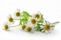 chamomile extract apigenin 98% 5