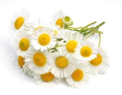 chamomile extract apigenin 98% 7