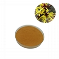 Hamamelis virginiana extract powder
