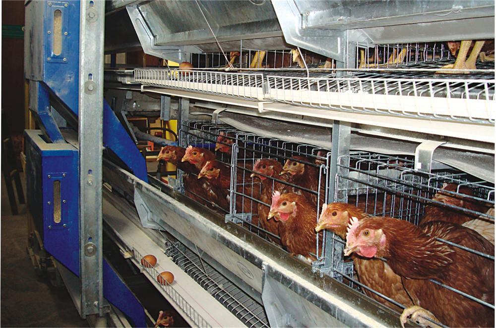 全自動雞用清糞機設備 2