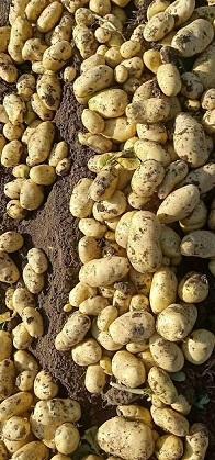 2020 New Crop Holland Potato 1