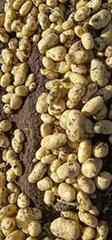 2020 New Crop Holland Potato