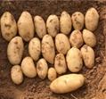 2020 New Crop Holland Potato 2