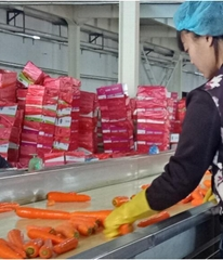 the Chinese fresh vegetable carrots supplier and exporter
