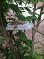 湘果園果樹拉枝器 4