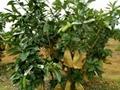 陕西新型果树拉枝器 4