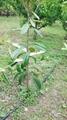 陝西新型果樹拉枝器 5