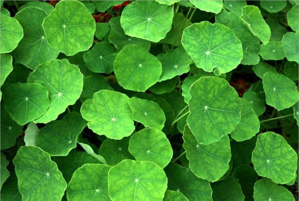 Centella asiaticaextract-Asiaticoside&Asiatic Acid 4