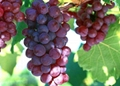 葡萄籽提取物 4