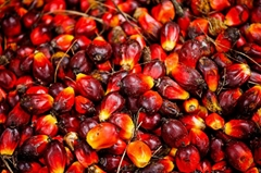 palm oil crude and refined