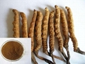 Cordyceps extract