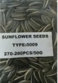 sunflower seed of type 5009
