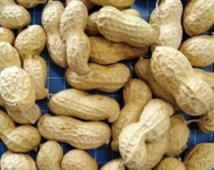 Chinese Peanut inshell groundnuts