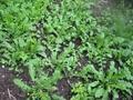花叶荠菜种子 野菜种子品种