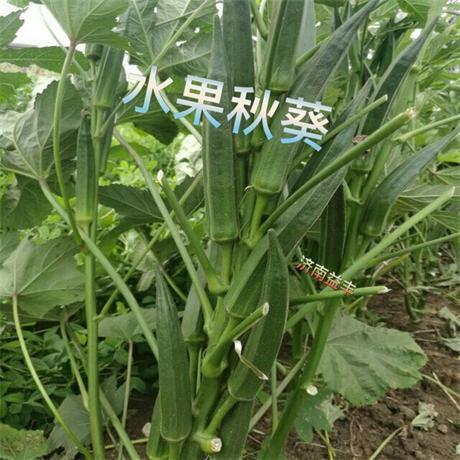細長型水果秋葵種子 1