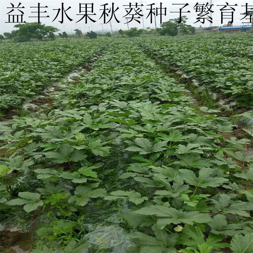 細長型水果秋葵種子 5