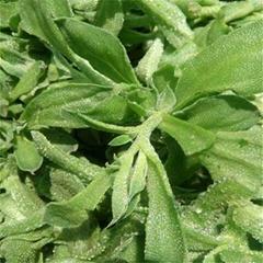 入口即化的保健蔬菜品种 冰草种子
