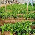 入口即化的保健蔬菜品種 冰草種子 3
