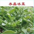 入口即化的保健蔬菜品種 冰草種子 4