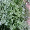入口即化的保健蔬菜品種 冰草種子 5